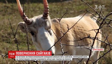 В Украине пытаются восстановить популяцию сайгаков, истребленных человеком более 100 лет назад