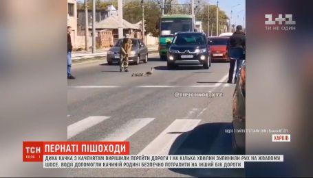 Дика качка з каченятами на кілька хвилин зупинила рух транспорту в Харкові