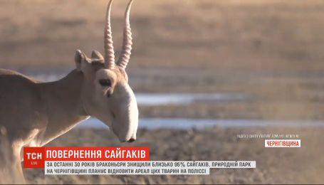 Повернення сайгаків: природний парк Чернігівської області спробує відновити популяцію тварин