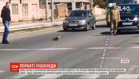 В Харькове утка с утятами остановили движение транспорта на оживленном шоссе