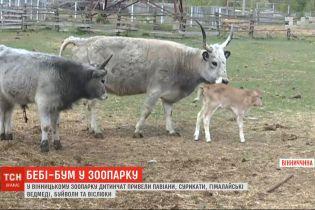 Весняний бебі-бум: у вінницькому зоопарку дитинчат привели павіани, сурикати та гімалайські ведмеді