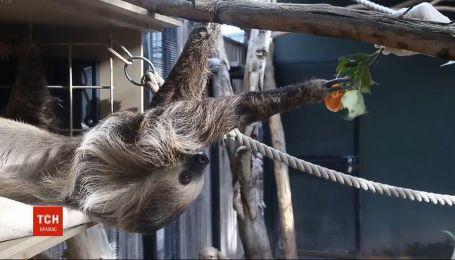 Ленивец из американского города Финикс в карантин зарабатывает деньги для своего зверинца