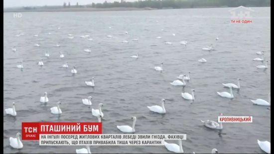 На річці Інгул у Кропивницькому вперше за багато років оселилися лебеді