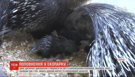Двое детенышей дикобразов появились на свет в харьковском экопарке