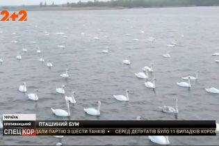 Близько сотні лебедів почали гніздитися серед житлових кварталів