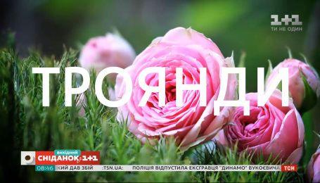 Як вирощувати троянди на балконі – садівник Павло Дем'янчук