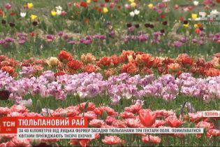 Тюльпановий рай: на Волині фермер засадив квітами три гектари поля