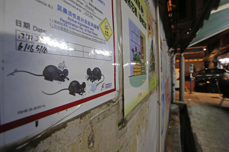 Щури в Гонконзі, щурячий гепатит_3