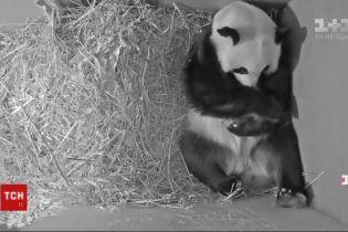 Пополнение в семействе панд: 1 мая на свет появилось черно-белый медвежонок