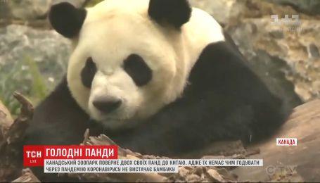 Немає чим годувати: панди з канадського зоопарку повернуться до Китаю