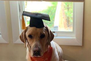 У США лабрадор отримав почесний докторський ступінь: він сумлінно працював собакою-терапевтом