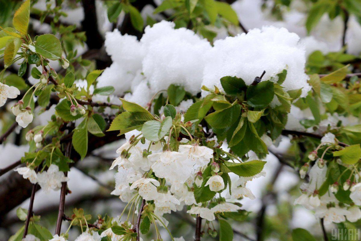 Вишні. Сніг