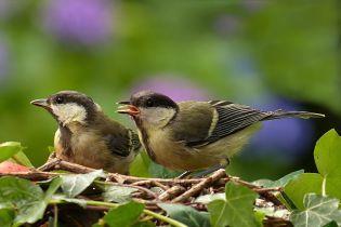 """Вчені виявили, що птахи різних видів можуть розуміти """"мову"""" одне одного"""