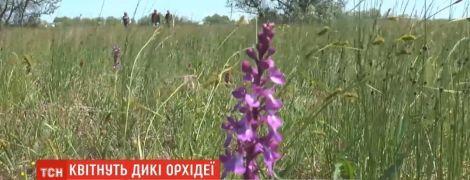У Миколаївській області зацвіло найбільше в Європі поле диких орхідей
