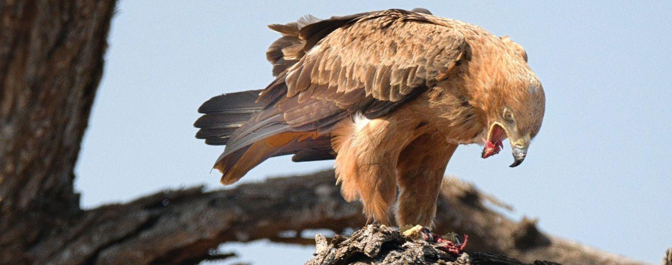 У США дослідники знайшли мікропластик в організмах більшості хижих птахів