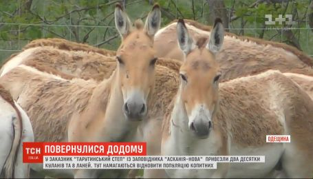 Як в Одеській області відновлюють популяцію куланів і ланей