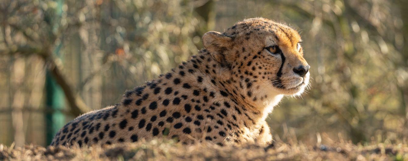 В Африке впервые за десятилетие заметили редкого северо-западного гепарда