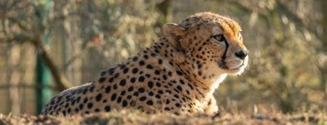 В Африці вперше за десятиліття помітили рідкісного північнозахідного гепарда