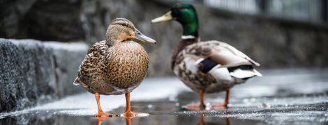 """Качині історії: на подвір'ї МЗС оселилася пара птахів і отримала """"дипломатичні привілеї та імунітети"""""""