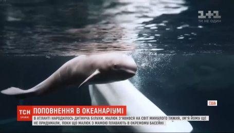 Поповнення в океанаріумі: в Атланті народилось дитинча білухи - білого кита