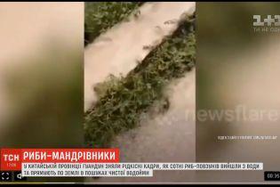В Китае сняли на видео, как сотни рыб-ползунов вышли из воды и направляются в поисках чистой воды