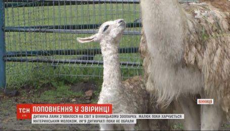 Дитинча лами з'явилося на світ у вінницькому зоопарку