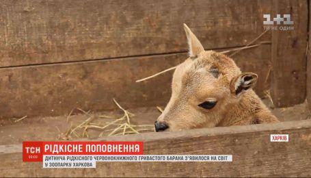 В харьковском зоопарке родился детеныш гривистых баранов