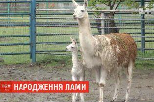 В винницком зоопарке на свет появился детеныш ламы