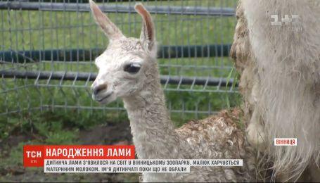 Звівся на ніжки: у вінницькому зоопарку на світ з'явилося дитинча лами