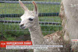 Встал на ножки: в винницком зоопарке на свет появился детеныш ламы