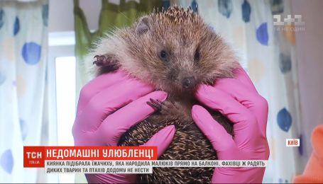 Не Домашние животные: у киевлянки на балконе ежиха родила малышей