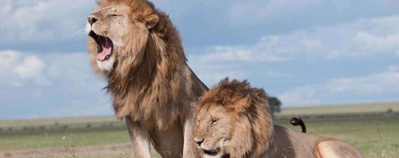 Два льва набросились на смотрительницу в австралийском зоопарке