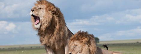 Два леви накинулись на доглядачку в австралійському зоопарку