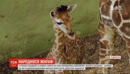 Жирафенка, который родился на Бали в разгар пандемии, назвали Корона