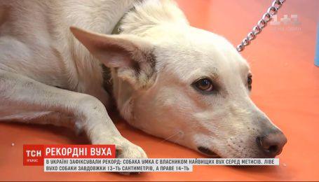 Незвичний рекорд: у собаки зафіксували найвищі вуха серед безпородних чотирилапих