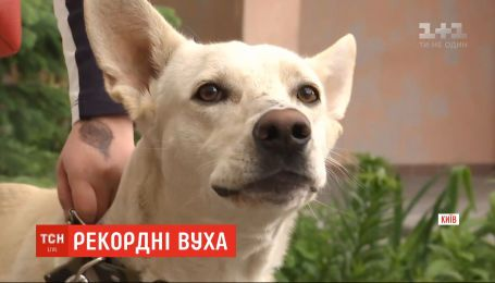 В Украине зафиксировали рекорд самых длинных собачьих ушей среди метисов