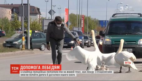 У Литві поліцейські перекрили рух на жвавій автотрасі, аби лебеді змогли перейти дорогу