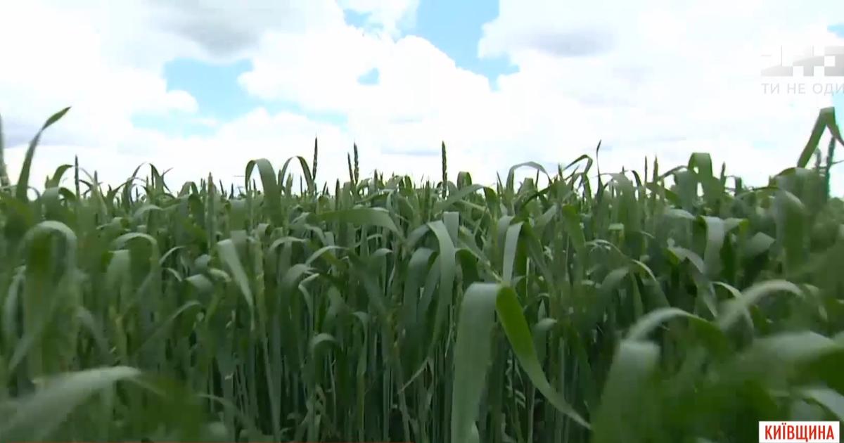 Фермеры рассказали, будет ли в этом году Украина с хлебом и маслом из-за перепадов погоды