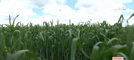 Фермери розповіли, чи буде цьогоріч Україна із хлібом та олією через перепади погоди