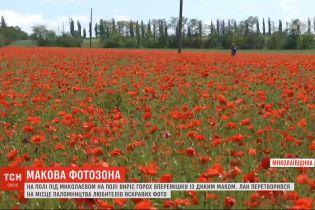 Замість гороху виріс мак: поле під Миколаєвом перетворилося на яскраву фотозону