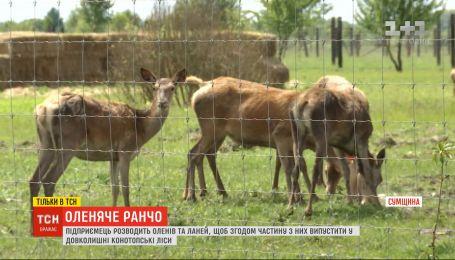 Оленяче ранчо: поблизу Конотопа оселилося понад сотню оленів та ланей