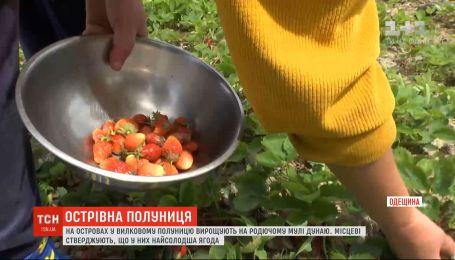 На островах у Вилковому полуницю вирощують на родючому мулі Дунаю