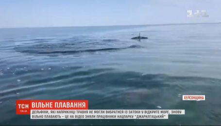 Дельфины, которые не могли выбраться из залива в открытое море, снова свободно плавают