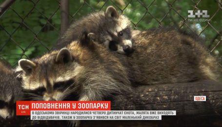 В одеському звіринці народилися четверо дитинчат єнота