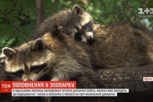В одесском зоопарке родились четверо детенышей енота