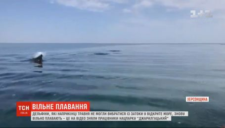 Дельфины, которые не могли выбраться из залива в открытое море, снова спокойно плавают