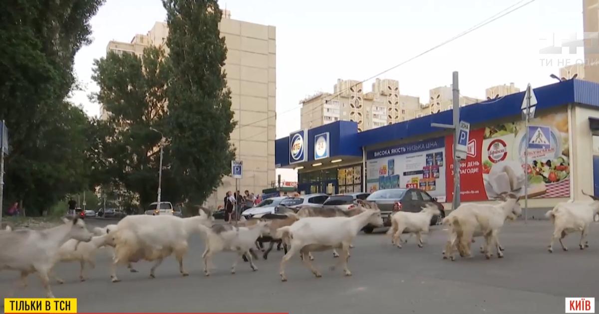 В Киеве женщина держит тридцать коз: что говорят на это соседи