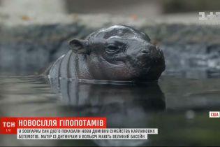 Карликові гіпопотами в американському зоопарку Сан-Дієго святкують новосілля