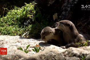 У лондонському зоопарку повідомили про появу на світ двох маленьких видренят