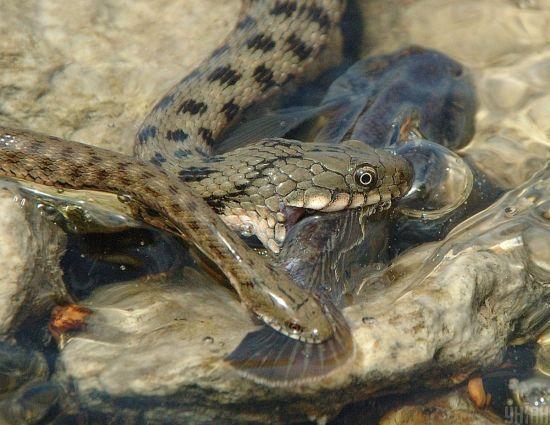 У Рівненській області двоє людей потрапили до реанімації через укуси змій